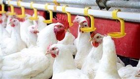 Volume de carne de frango in natura exportado na terceira semana de abril retrocedeu ao menor volume dos últimos tempos