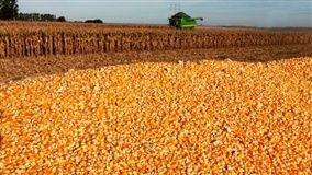 De acordo com o Deral, 41,0% da área semeada com milho de primeira safra foi colhida até o dia 19/3