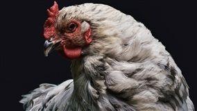 Em nota divulgada na sexta-feira (20/04), a Lar Cooperativa Agroindustrial reafirmou seu compromisso com a qualidade na produção de frango