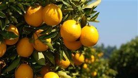 Greening é fator de longo prazo que afeta a produção