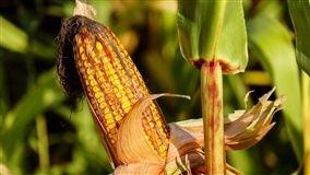 A área plantada com o cereal no Estado está estimada em 2,232 milhões de hectares