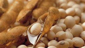Lavouras de soja no Estado superaram a fase vegetativa, segundo a Emater