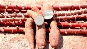 Ritmo de colheita de raízes mais novas tem aumentado gradativamente em todas as regiões acompanhadas pelo Cepea