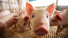 Preços da carcaça suína se mantêm em baixos patamares no mercado interno