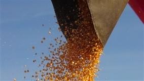 O grão é amolecido com água quente para que seja possível extrair os nutrientes necessários