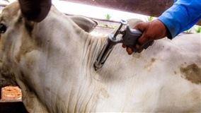 Brasil recebe na quinta-feira (24) o reconhecimento como livre da febre aftosa com vacinação da Organização Mundial de Saúde Animal (OIE)