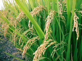 Produtividade e preços vão marcar abertura da colheita do arroz