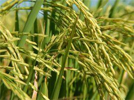 Conab vendeu 96 toneladas de arroz nesta quarta-feira (30)