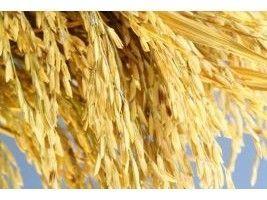 Arroz: vitrines tecnológicas apresentam novidades para os produtores