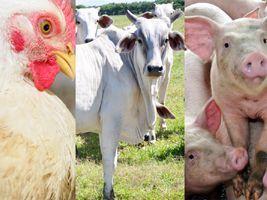 Frango, boi e suíno: preços ao produtor nos 11 primeiros meses do ano