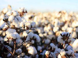 Algodão/Cepea: Baixa oferta pode sustentar preço da pluma no início do ano