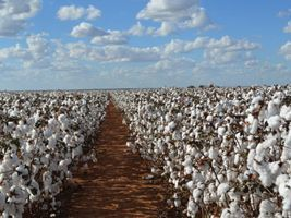 Queda no preço do farelo de algodão