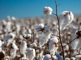 Tecnologias para o algodão, amendoim, mamona e gergelim serão apresentadas no cariri cearense