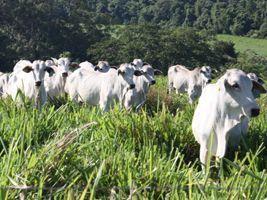 Participação de fêmeas no abate total de bovinos diminuiu em 2015