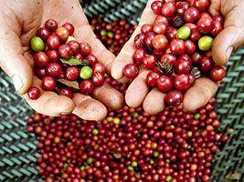 Noroeste Fluminense terá nova marca de café orgânico