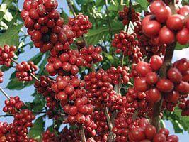 Exportações de café somam US$ 4,1 bilhões no ano