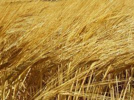 Unizeb Gold é aprovado para trigo e cevada