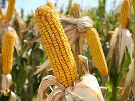 Preço do milho dispara em meio à colheita no Brasil, aponta Cepea