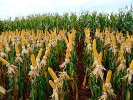 Greve de fiscais afeta emissão de certificado e exportação de milho, diz Anec