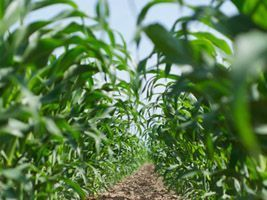 Céleres diz que 2ª safra de milho do Brasil pode romper marca de 50 mi t