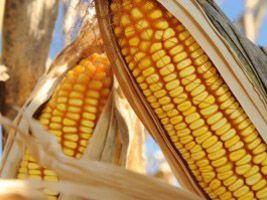 Agronegócio busca alternativas para aliviar crise do milho em SC