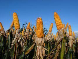 Milho/Cepea: preços se mantêm em alta no mercado spot