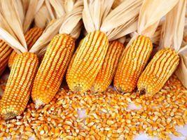 França amplia restrição a safras de milho geneticamente modificado