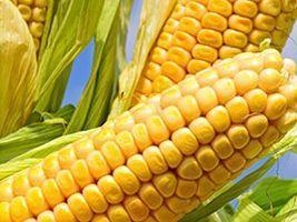 Planejamento da lavoura de milho pode garantir maior produtividade