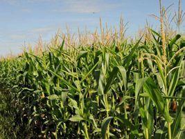 Tempo favorece colheita de milho na Argentina, mas greve atrasa transporte