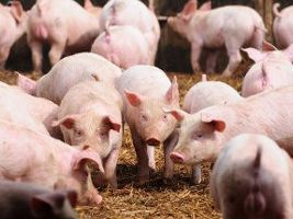 Preços dos suínos andando de lado há mais de trinta dias nas granjas em São Paulo