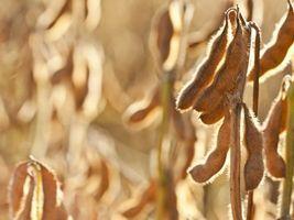 Show Rural - Uso de cultivares de soja resistentes é método eficiente para o controle de nematoides