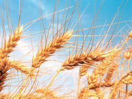 Sindustrigo faz levantamento sobre produção e comercialização do trigo em SP