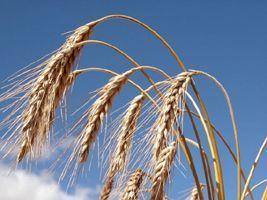 USDA: EUA tem maior estoque de trigo desde 1987