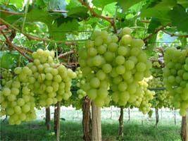 Cultivo de uva no Planalto Central