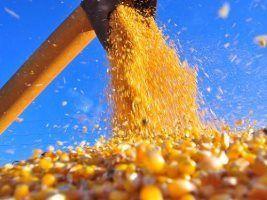 RS antecipa colheita de milho atento aos preços do grão