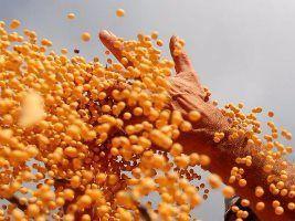 Recorde: em Mato Grosso, região Oeste vai colher em média 55,99 sacas de soja por ha
