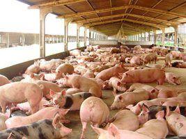 Cartilhas ensinam como cuidar de suínos desde a granja até os frigoríficos