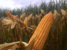 Monsanto destaca híbridos para o milho em Mato Grosso no Rally Agroeste