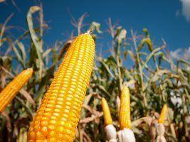 Mercado do milho perdeu sustentação em agosto