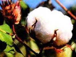 Evento vai discutir produção de algodão em Goiás