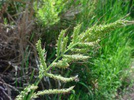 Indea autoriza registro dos herbicidas Stampir BR e Blazer Sol no MT