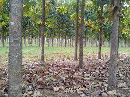 Estudo aponta espécies de árvores para reflorestamento e produção de madeira em Mato Grosso