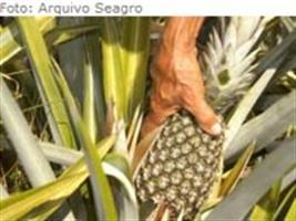 Embrapa Mandioca e Fruticultura leva quatro tecnologias para o Show Rural