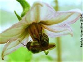 Ração de baixo custo e boa aceitação para abelhas nativas sem ferrão