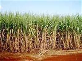Bunge diz que expansão do açúcar no Brasil pode vir mais tarde do que necessidades do mercado