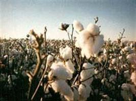 Produtores já podem iniciar o plantio de algodão em MT