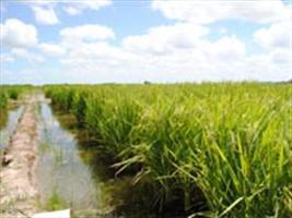 Pesquisadores estudam emissão de metano em cultivo de arroz irrigado