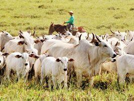 Sebo bovino: oferta restrita, mas baixa demanda