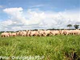 Pesquisa investiga resistência ao carrapato em bovinos