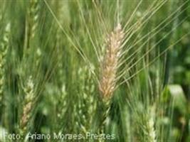 Show Rural - Doenças no trigo provocam prejuízos para produtores e consumidores no RS